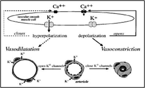 Mecanismo de vasoconstrição e vasodilatação comandados pela entrada e saída de íns de Ca e K