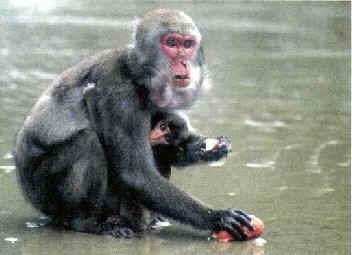 A macaca Imo aprendeu a lavar batatas na água do mar, e ensinou os outros membros de seu grupo a fazer o mesmo.
